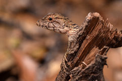 Lizard. (  ) s are cold-blooded reptiles, and it appears in the Early Triassic period is very similar to reptilian ancestors. Multiply by the majority of Royalty Free Stock Photography