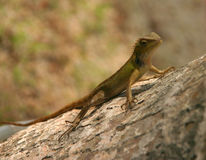Lizard. On a tree trunk close up Royalty Free Stock Image