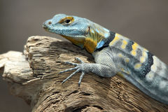 Lizard. Colorful Striped Lizard Close Up stock image