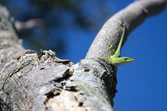 Lizard. Green lizard sittingon tree - shallow depth of field Royalty Free Stock Images
