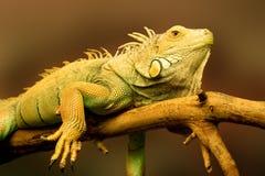 Lizard. Big green lizard on the branch stock photos