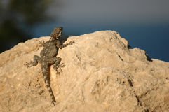 Lizard. In the sun Royalty Free Stock Image