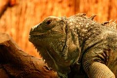 Lizard. Head of lizard Stock Photo