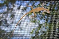 Free Lizard Stock Photo - 3708820
