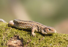 Lizard Stock Photos