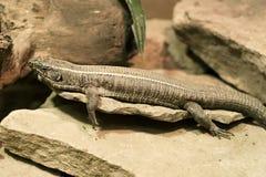 Lizard. Lounging lizard Royalty Free Stock Photos