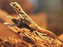 Lizard. A lizard sitting under a heat lamp. Monarto zoo, South Australia Stock Photos