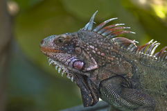 Lizard. A lizard lived on st Thomas, US virgin island Stock Photography