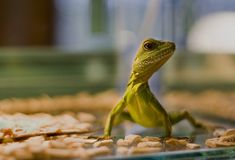 Lizard. Sweet green little lizard in aquarium Royalty Free Stock Photo