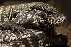 Free Lizard Royalty Free Stock Images - 48919079