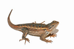 Lizard. A lizard isolated on a white background stock photos