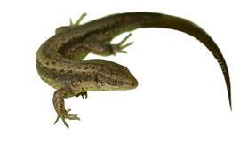 Lizard. Isolated view of lizard on white Royalty Free Stock Images