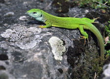 Lizard. Warming in the sun Royalty Free Stock Photos