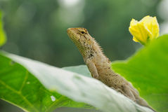 Lizard. A close up photo of a lizard with brown skin Stock Photos