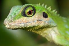 Lizard. A green tree lizard royalty free stock photo