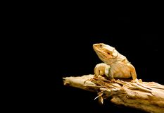 Lizard. Close-up of a lizard isolated on black background Royalty Free Stock Image