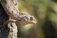 Free Lizard Stock Photography - 62624112