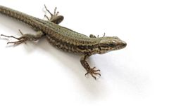 Lizard. Over white background Royalty Free Stock Photos
