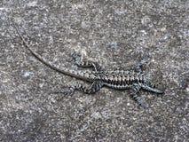 Free Lizard Stock Image - 655141