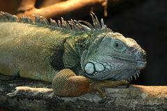 Lizard. Resting lizard stock images