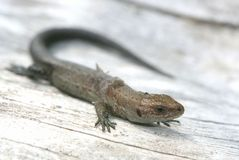 Lizard Royalty Free Stock Images