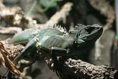 Lizard. One lizard on the tree Stock Photography