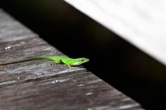 Lizard. On the boardwalk Royalty Free Stock Photos