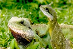 Free Lizard Royalty Free Stock Images - 869299
