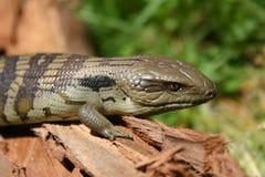 Lizard. Blue tongue lizard Stock Photography