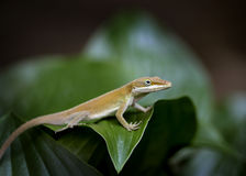 Lizard. Tiny reptile on green leaf royalty free stock photos