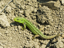 Lizard. That basks in the burning sun.  brightly green color stock images