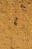Lizard in Adobe Mud Wall Royalty Free Stock Photo