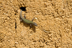 Lizard in Adobe Mud Wall Royalty Free Stock Images