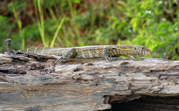 Lizard in Africa Stock Photos
