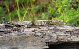 Lizard in Africa Stock Photos