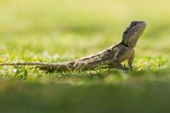Lizard in Africa Stock Photography