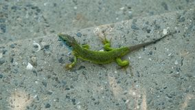 Lizard against the background of a gray concrete surface. Royalty Free Stock Photos