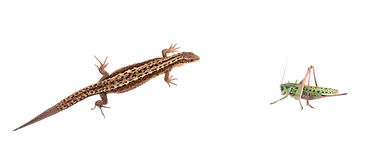 Lizard against locust isolated on white background Royalty Free Stock Photography