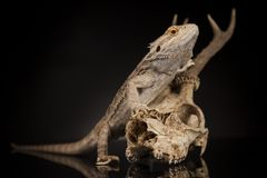 Lizard, Agama, Antlers, dragon and skull. Skull, Lizard, Agama, Antlers, dragon and skull royalty free stock photos
