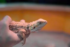 Lizard agama in hand stock photos