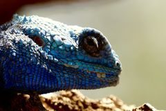 Blue Lizard Royalty Free Stock Photo