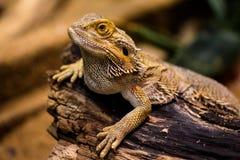 Lizard, Agame, Reptile, Amphibian Stock Photos