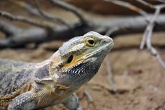 Lizard agame with yellow and grey colors not moving at all royalty free stock images