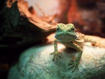 Free Lizard Agamidae Spiral At Stone Close-up Looking At Camera V Stock Image - 84587391
