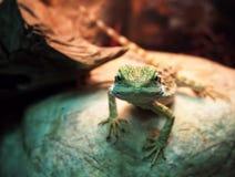 Lizard Agamidae spiral at stone close-up looking at camera Royalty Free Stock Photo