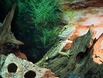 Lizard Agamidae at wood close-up. Lizard Agamidae at the wood close-up stock image