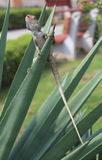 Lizard on agave Stock Photography