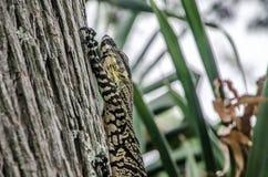 Lizard alert Royalty Free Stock Photo