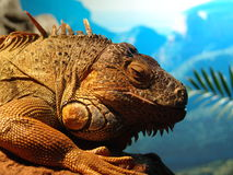 Lizard ancient. Ancient looking reptile with atitude Royalty Free Stock Photos