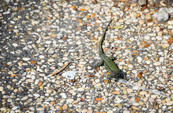 Lizard in ancient Rome Stock Image